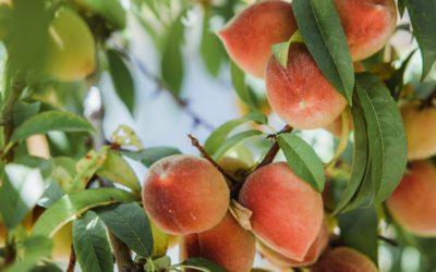 Cuidado de los árboles frutales en invierno